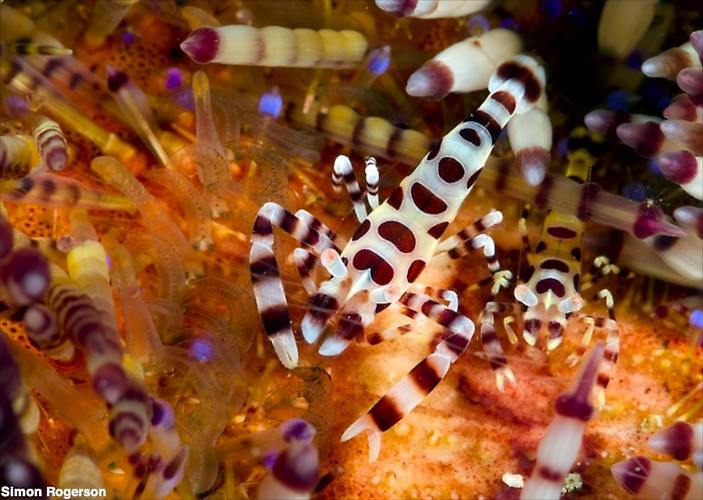 Coleman Shrimp (Periclimenes colemani) Lembeh Strait Indonesia, March 2014