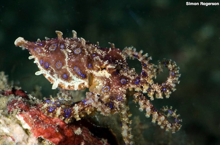 Blue ringed octopus, Hapalocaena maculosa, Lembeh Strait Indonesia March 2014