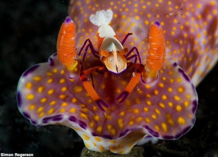 T-bar Nudibranch & Emperor Shrimp (Ceratocoma trilobatum) & (Pericelmenes imperator) Lembeh Strait Indonesia, March 2014