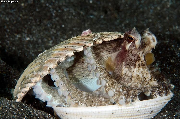 Coconut Octopus (Octopus marginatus) Lembeh Strait Indonesia, March 2014
