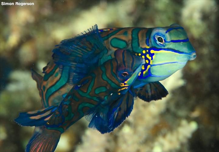 Mandarin Fish (Synchiropus splendidus) Lembeh Strait Indonesia, March 2014