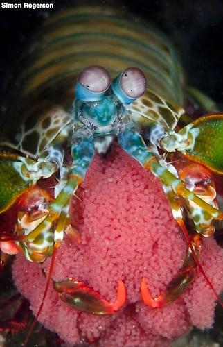 Peacock Mantis Shrimp (Odontodactylus scyllarus) Lembeh Strait Indonesia, March 2014