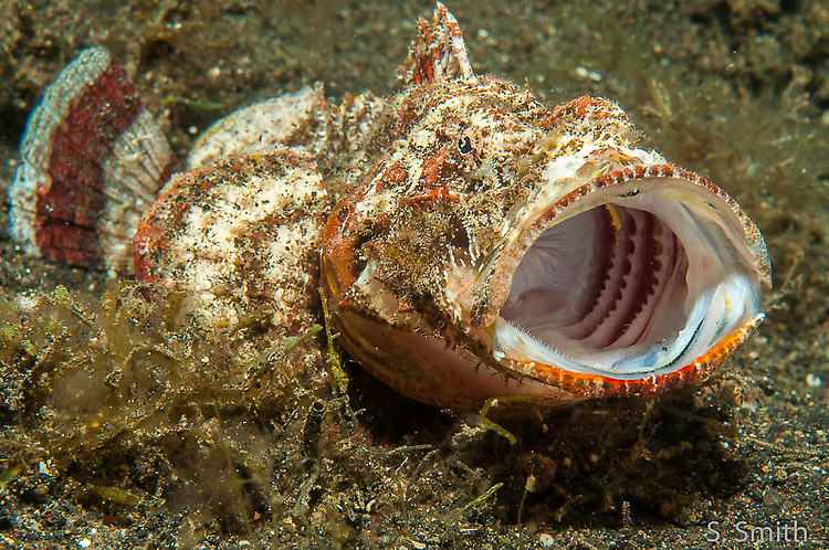 Humpback scorpionfish, Scorpaenopsis diabolus, Lembeh Strait Indonesia October 2014