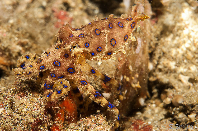 Blue-ringed octopus, Hapalochlaena maculosa, Lembeh Strait Indonesia October 2014