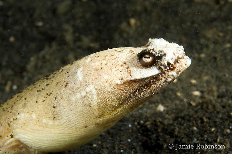 Crocodile snake eel (Brachysomophis crocodilinus), Lembeh Strait Indonesia, March 2015