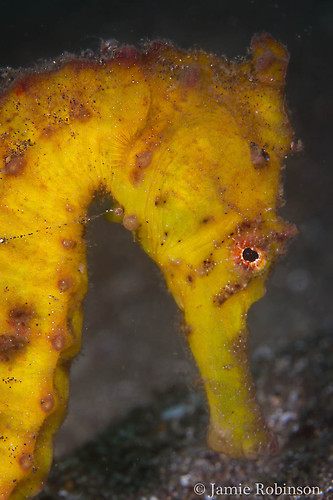Common seahorse, Hippocampus kuda, Lembeh Strait Indonesia, March 2015