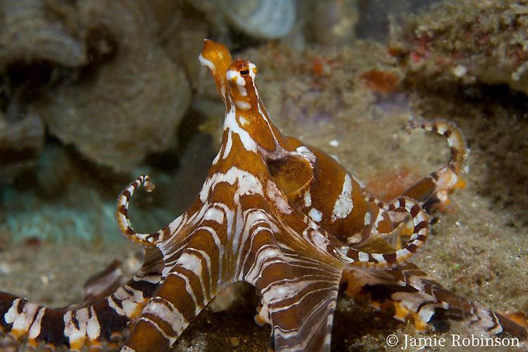 Wunderpus octopus, Wunderpus photogenicus, Lembeh Strait Indonesia March 2015