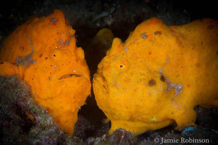 Painted Frogfish, Antennarius pictus, Lembeh Strait Indonesia, March 2015