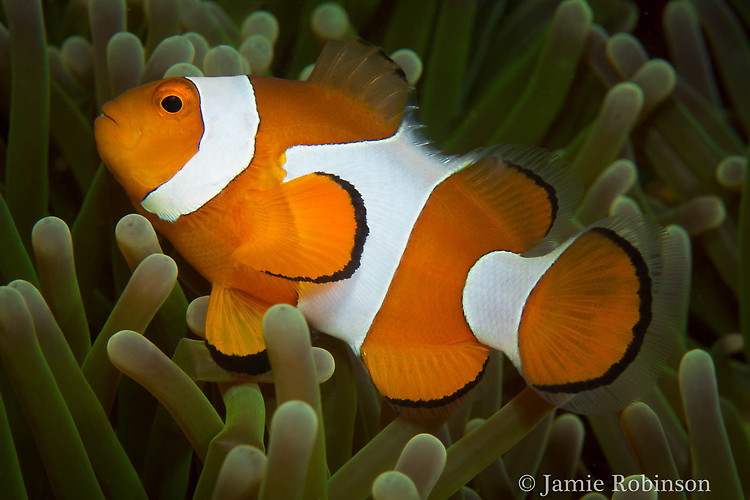 Western Clownfish, Amphiprion ocellaris, Lembeh Strait Indonesia, March 2015
