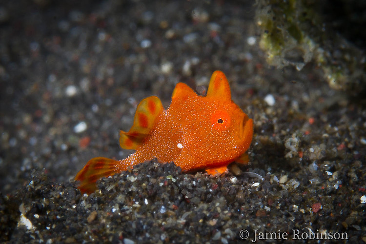 Juvenile Painted frogfish, Antennarius pictus, Lembeh Strait Indonesia March 2015