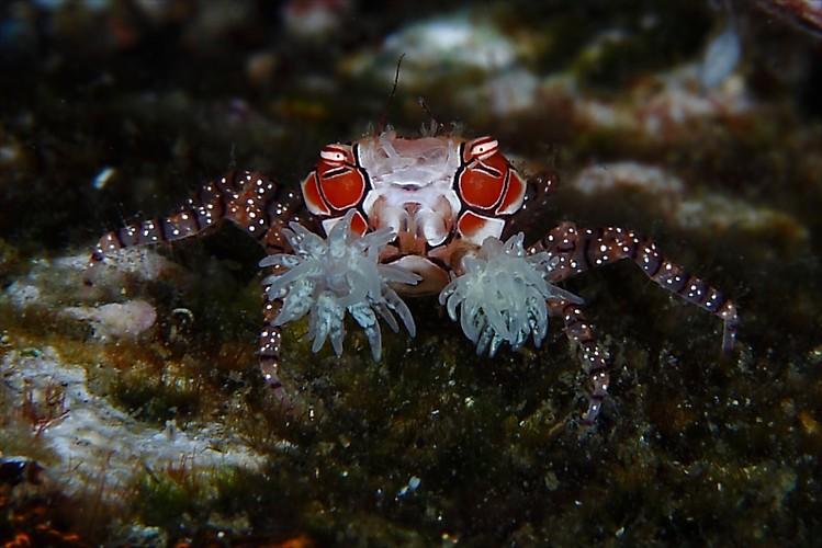 Lembeh, critters@lembeh,Diving,Opem Reidar