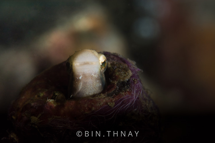 Striped fang blenny (Meiacanthus grammistes), Lembeh Strait Indonesia May 2017
