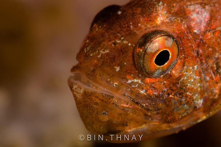Cardinal fish with eggs, Lembeh Strait Indonesia May 2017