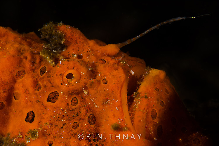 Painted frogfish (Antennarius pictus), Lembeh Strait Indonesia May 2017
