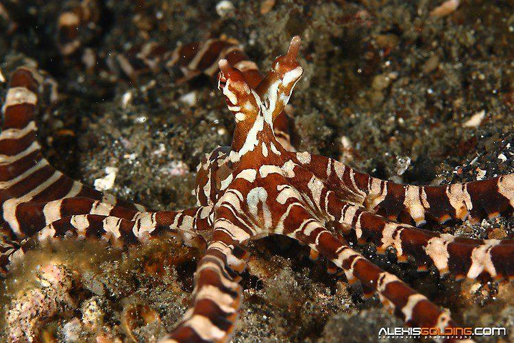 Wunderpus Octopus(Wunderpus photogenicus),Lembeh Strait Indonesia October 2013