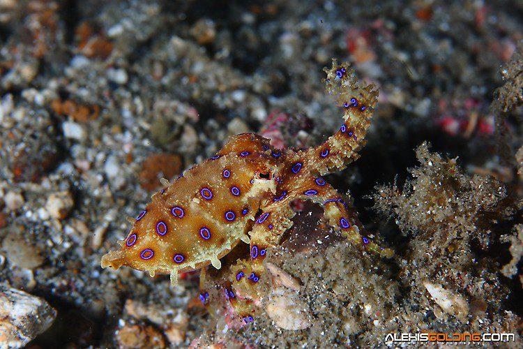 Blue-ringed Octopus(Hapalochlaena sp.),Lembeh Strait Indonesia October 2013