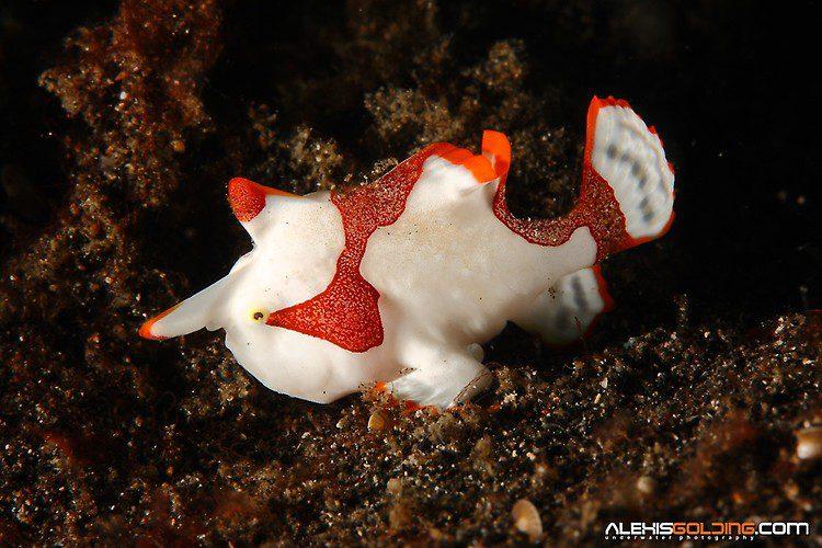 Clown Frogfish (Antennarius maculatus) Lembeh Strait Indonesia October 2013