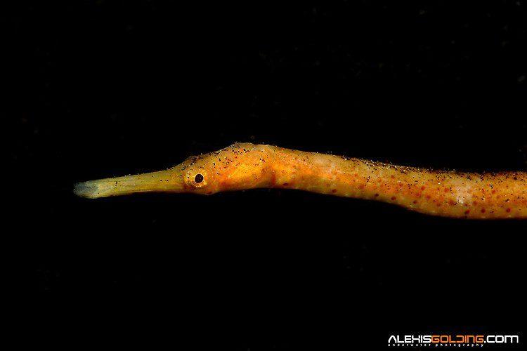 Stick Pipefish (Trachyrhamphus longirostris) Lembeh Strait Indonesia October 2013