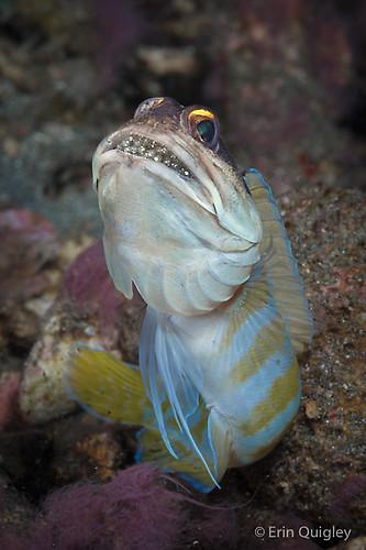 Yellow Barred Jawfish (Opistognathus sp.)