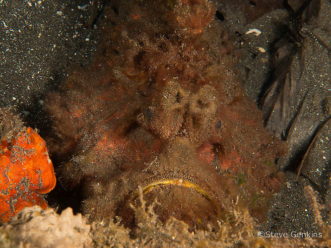 Estuarine stonefish, Synanceia horrida, Lembeh Strait Indonesia March 2015
