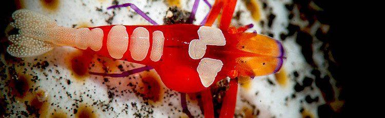 Emperor shrimp, Periclimenes imperator, Lembeh Strait Indonesia September 2014