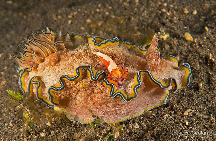 Glossodoris cincta & Emperor shrimp (Periclimenes imperator), Lembeh Strait Indonesia, March 2015