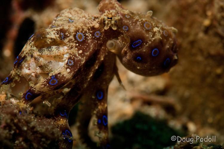Blue-ringed octopus, Hapalochlaena sp, Lembeh Strait Indonesia February 2013