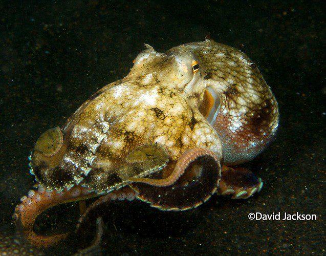Coconut octopus, Amphioctopus marginatus, Lembeh Strait Indonesia, December 2013