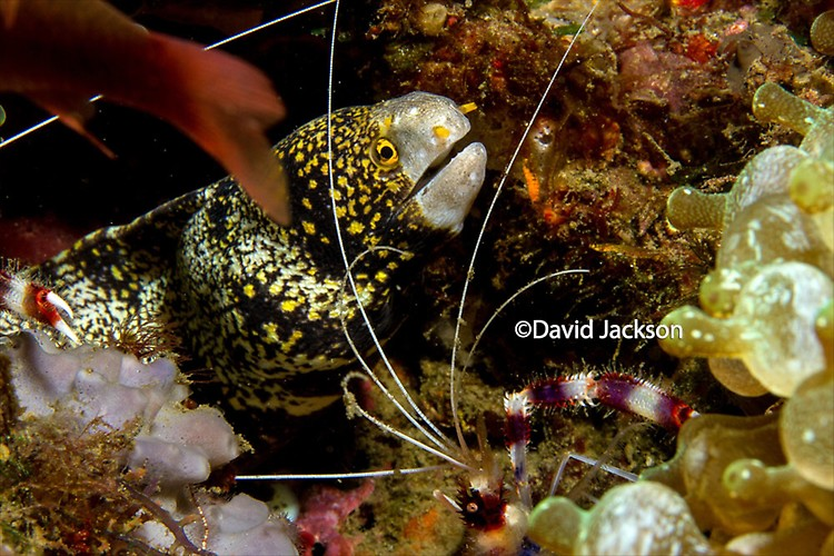 Snowflake Moray, Echidna nebulas, Lembeh Strait Indonesia, 2013