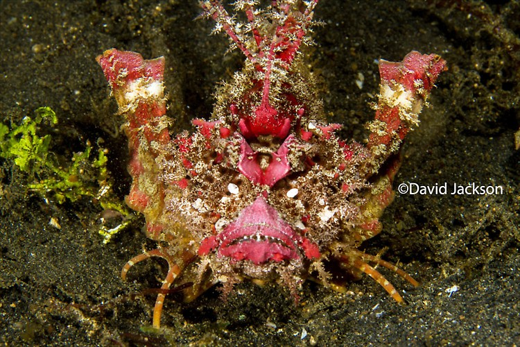 Spiny devilfish, Inimicus didactylus, Lembeh Strait Indonesia, December 2013