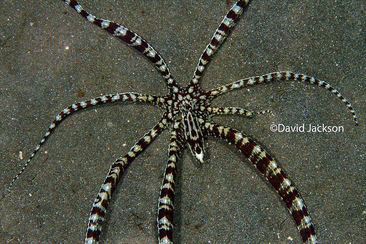 Mimic octopus, Thaumactopus mimicus, Lembeh Strait Indonesia,