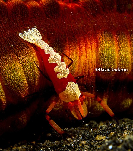 Emperor shrimp, Periclimenes imperator, Lembeh Strait Indonesia December 2013