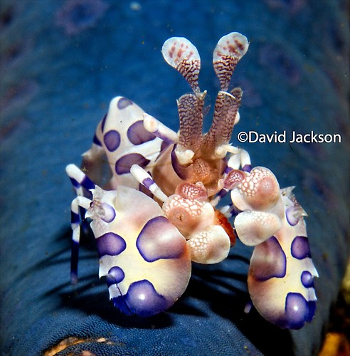 Harlequin shrimp, Hymenocera picta, Lembeh Strait Indonesia December 2013