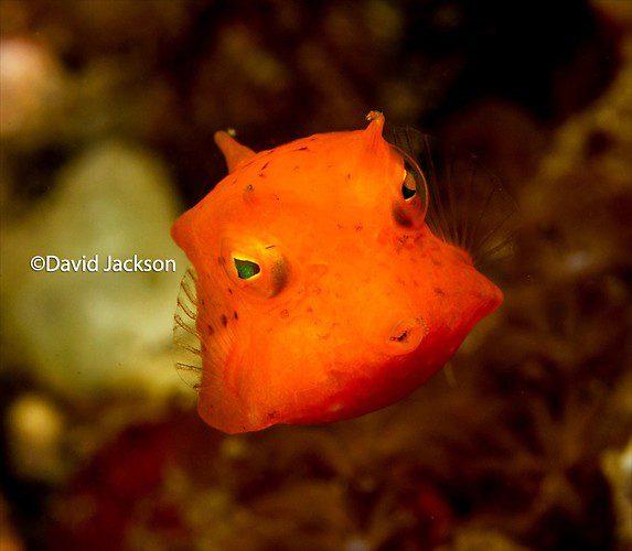 Juvenile Thornback Cowfish, Lactoria Fornasini, Lembeh Strait Indonesia, December 2013