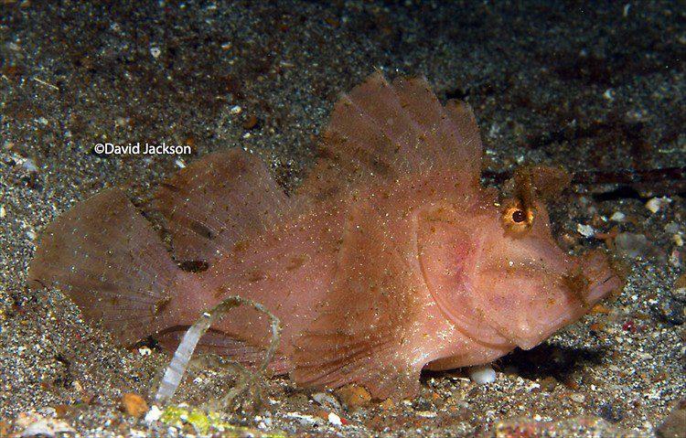 Paddle-flap Scorpionfish, Rhinopias eschmeyeri, Lembeh Strait Indonesia December 2013