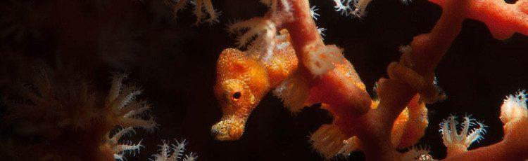 Denise pygmy seahorse, Hippocampus denise, Lembeh Strait Indonesia June 2014
