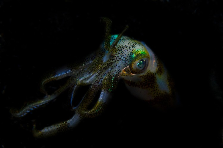 Big Fin Squid -EF Dixon