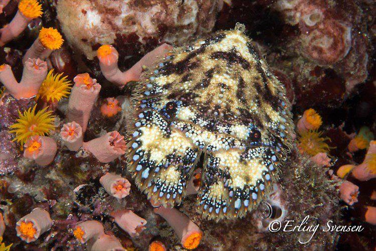 SLIPPER LOBSTER (Thenus sp.), Lembeh Strait, Indonesia, December 2012