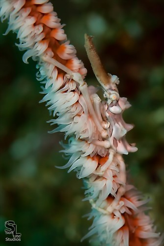 Wire Coral Crab (Xenocarcinus tuberculatus), Lembeh Resort, Indonesia, October 2012