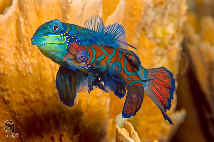Mandarinfish (Synchiropus splendiddus), Lembeh Resort, Indonesia, October 2012