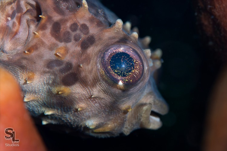 Orbicular Burrfish (Cyclichthys orbicularis), Lembeh Resort Indonesia, October 2012