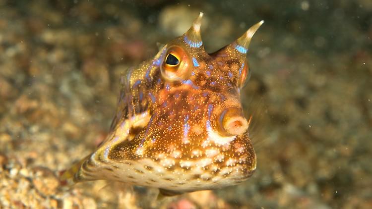 Thorn-back cowfish, Lactoria fornasini, Lembeh Strait Indonesia 2012