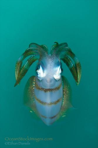 Bigfin Reef Squid (Sepioteuthis lessoniana), Lembeh Resort, Indonesia, December 2012