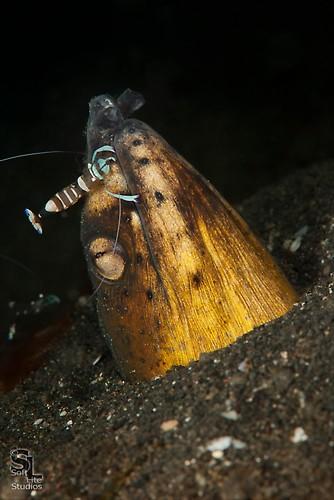 Black Saddle Snake Eel (Ophichthus cephalozona), Lembeh Resort, Indonesia, October 2012