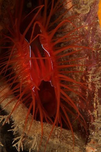 Disco clam, Ctenoides ales, Lembeh Strait Indonesia November 2012