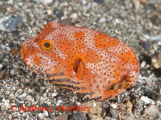 Lembeh, critters