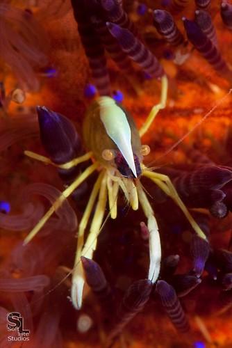 Brook's urchin shrimp (Allopontonia brooki), Lembeh Resort Indonesia, October 2012