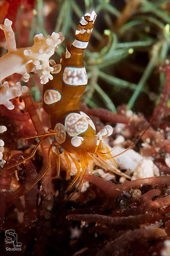 Squat or Sexy Shrimp (Thor amboinensis), Lembeh Resort, Indonesia, October 2012