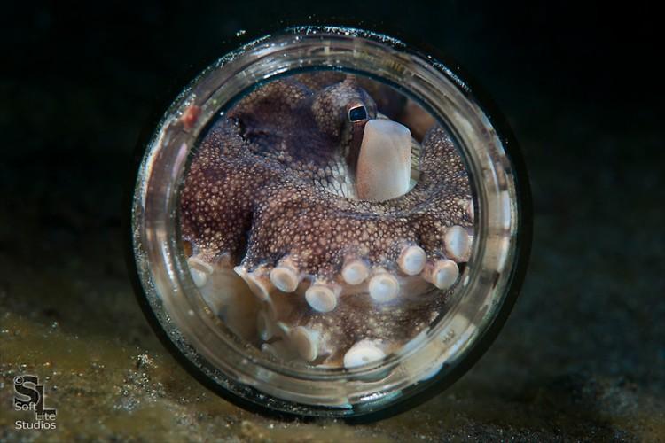 Coconut Octopus (Amphioctopus marginatus), Lembeh Resort, Indonesia, October 2012