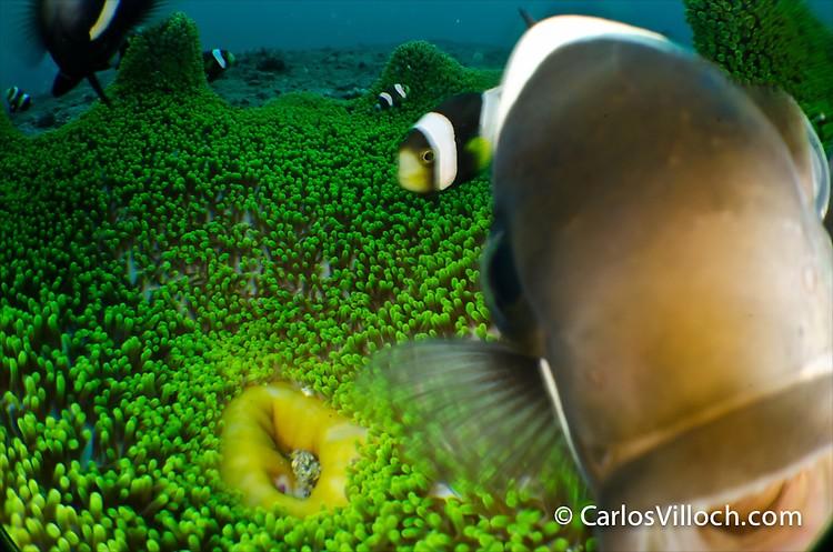 Saddleback Anemone Fish